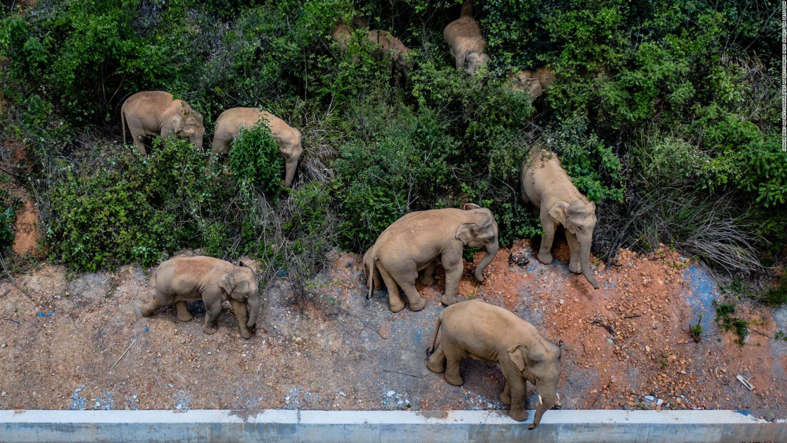 Manada de elefantes deambula por las calles de China