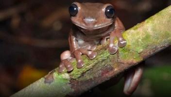 """Científicos descubren una """"rana de chocolate"""""""
