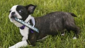 Cachorros nacen listos para interactuar con humanos
