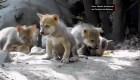 Lobos en peligro de extinción nacen en Ciudad de México