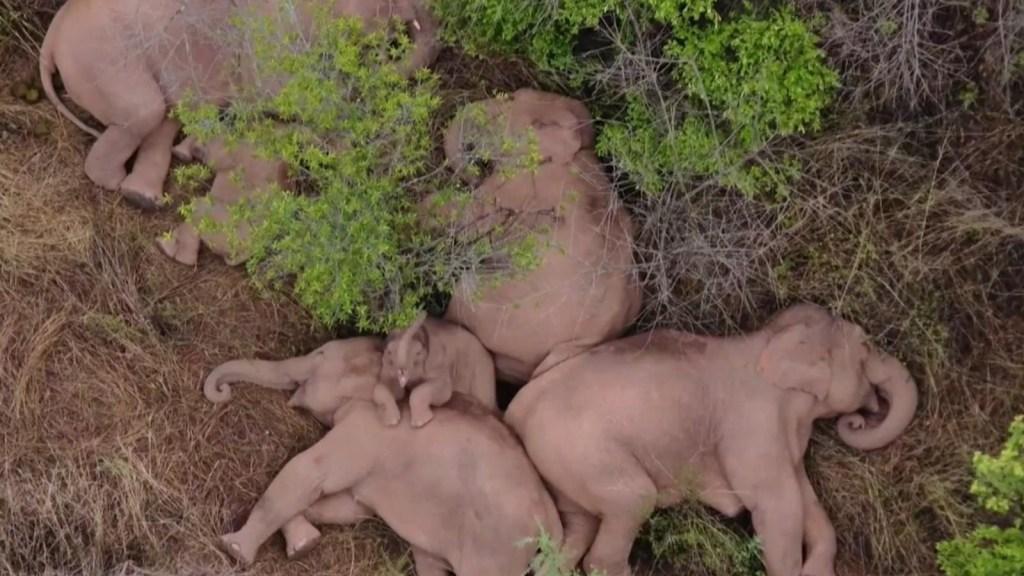 Manada de elefantes toma una siesta tras caminar 500 km