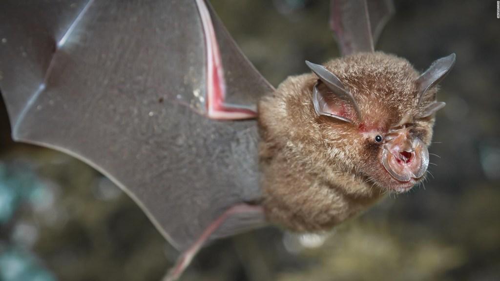 Hallan nuevos coronavirus en murciélagos