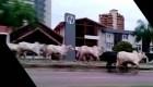 Estampida de vacas deja heridos en Bolivia