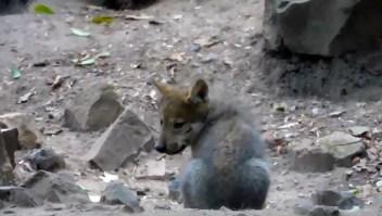 Nace camada de lobos mexicanos