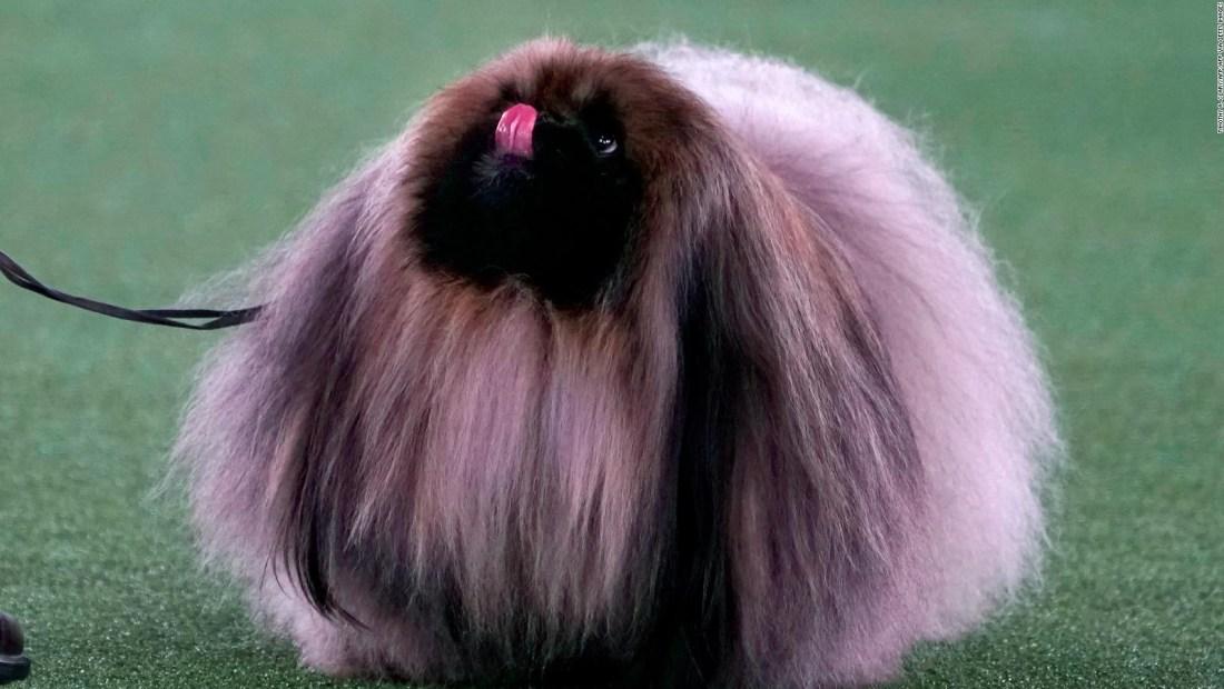 Estos perros ganaron el prestigioso concurso Westminster