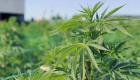 Argentina abre camino al mercado de cannabis medicinal