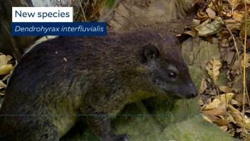 Por su ladrido hallan nueva especie de mamífero en África