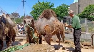 El nuevo estilo de estos camellos para combatir el calor