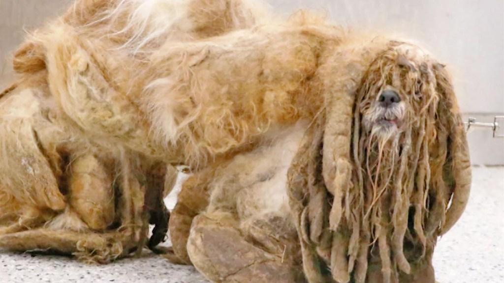 Perro callejero está irreconocible tras corte de pelo