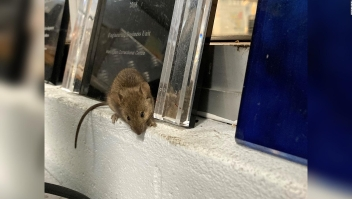 Cárcel en Australia evacúa a presos por plaga de ratones