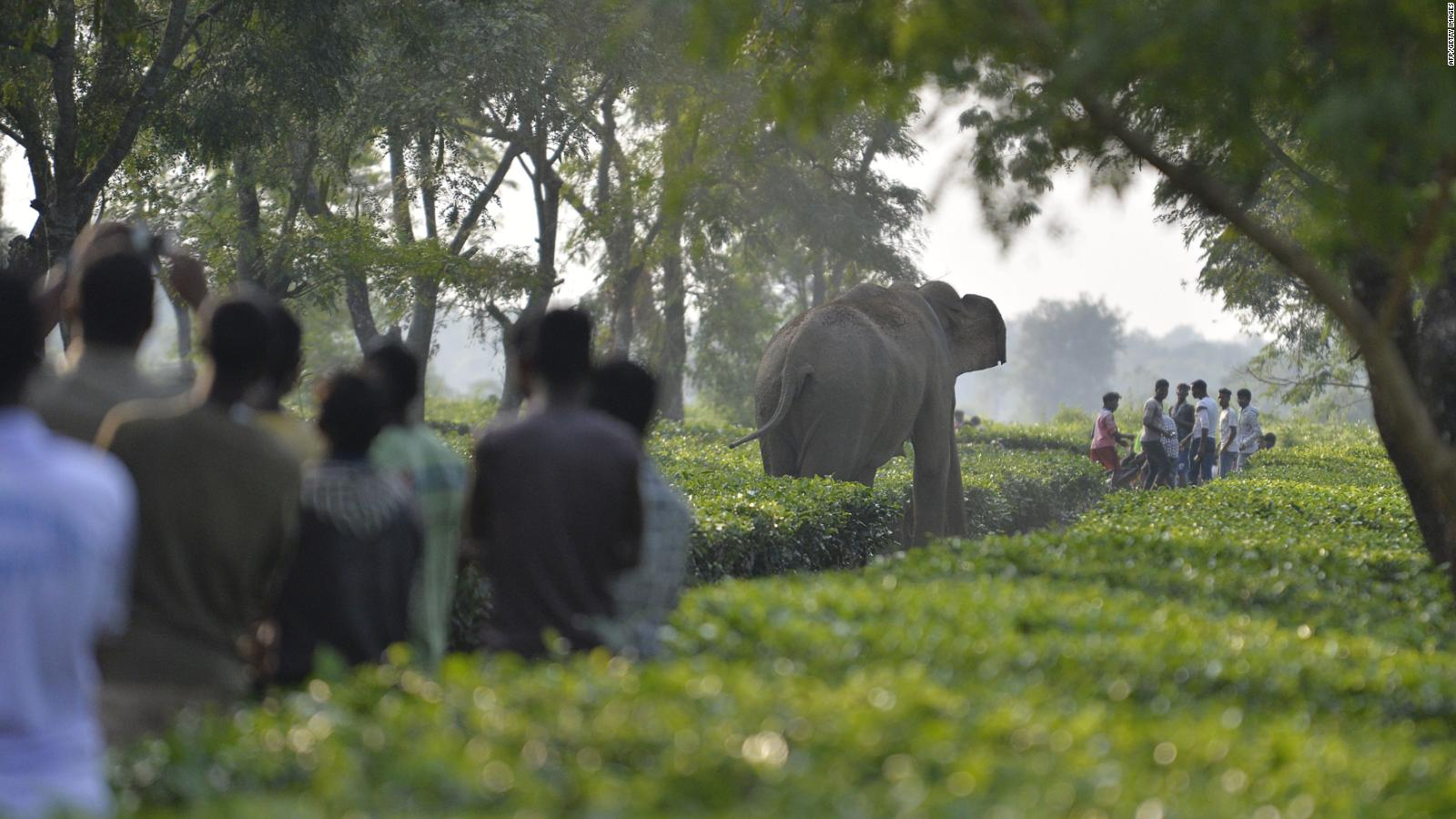 La India tiene la mayor población de elefantes asiáticos, pero ahora hay conflicto con las personas