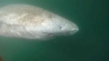 Este tiburón ciego puede vivir más de 400 años