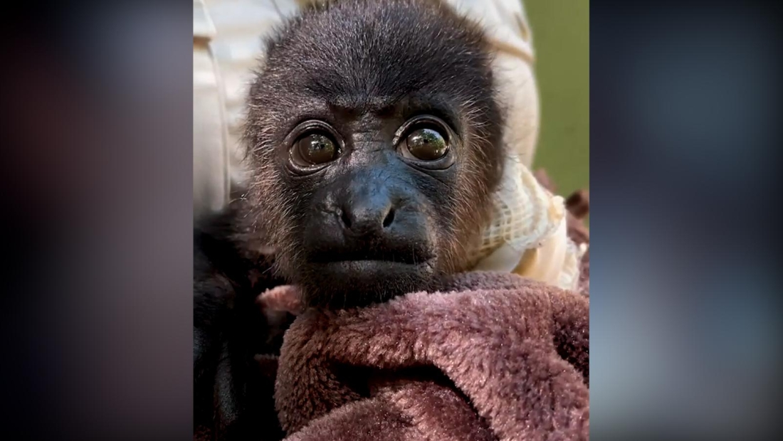 Veterinarios luchan por salvar el brazo de una cría de mono
