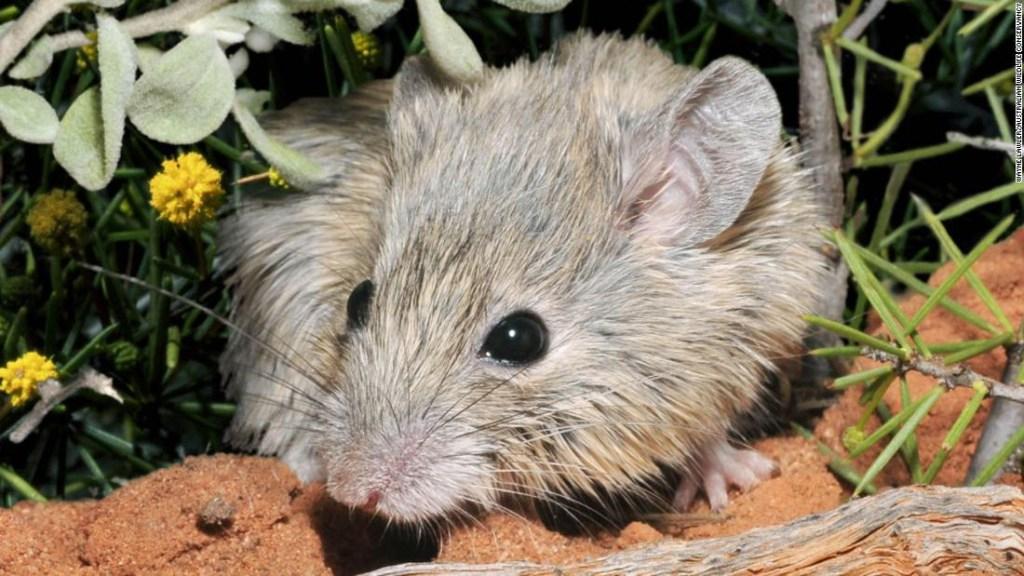 ratón extinto