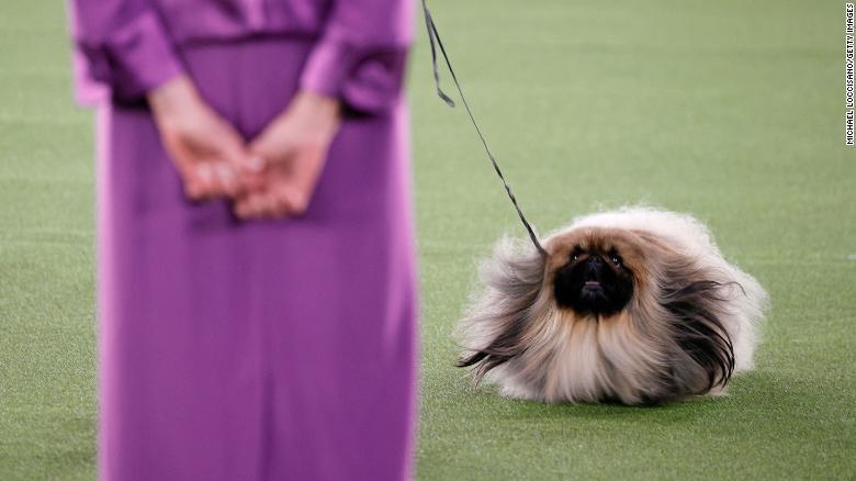 Wasabi Westminster Dog Show perros