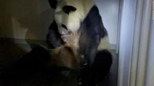 panda gigante bebé