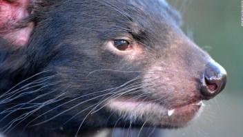 Demonios de Tasmania fueron trasladados a una isla para su protección. Ahora ya no hay pingüinos