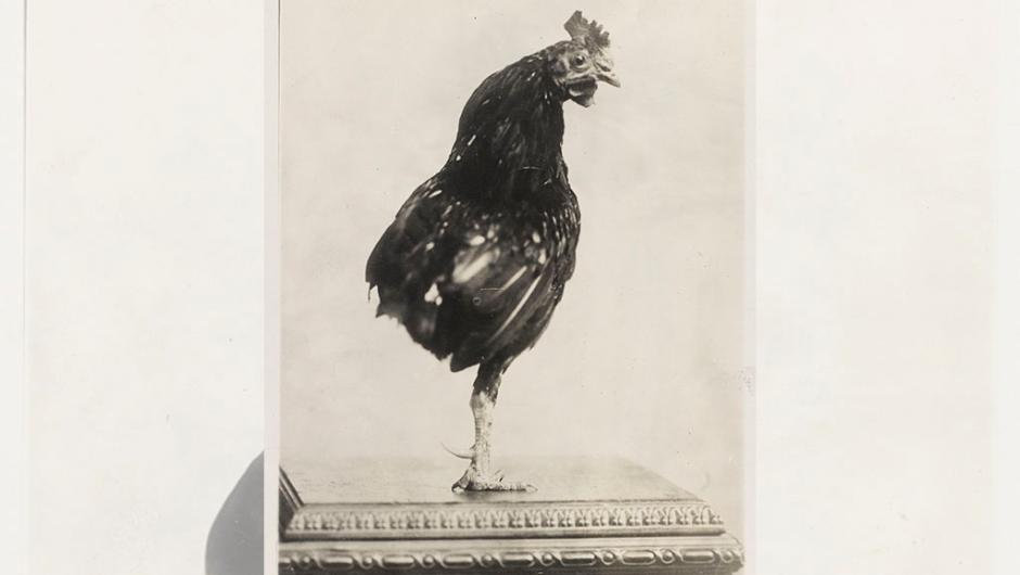 Roosevelt gallo