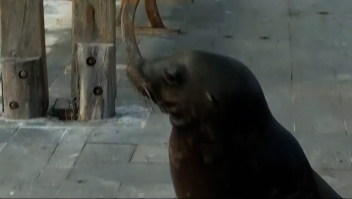 Lobo marino sorprende a reportera en vivo