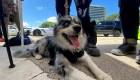 Perros rescatistas, una esperanza en la tragedia en Miami cafe oraa