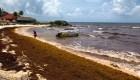 Caribe mexicano está afectado por toneladas de sargazo