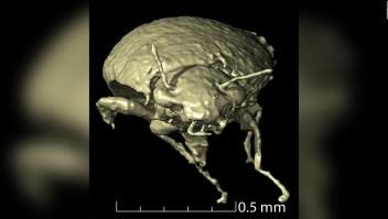 Científicos encuentran escarabajos en heces fosilizadas