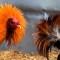 Declaran la pelea de aves patrimonio cultural de Hidalgo