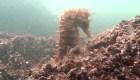 Caballitos de mar luchan por vivir en laguna contaminada
