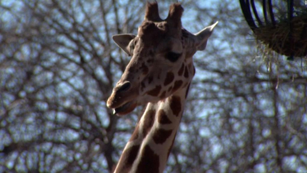 Zoológico vacunará contra covid-19 a sus 'inquilinos'