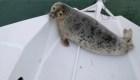 Una foca sorprende a un navegante en su bote