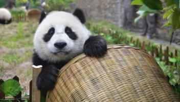 Pandas gigantes ya no está en peligro de extinción, dice China