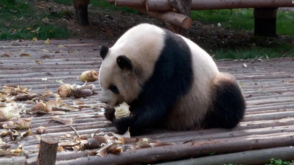 Así salvan a los pandas gigantes de extinguirse
