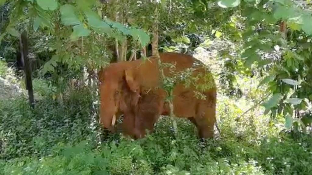 Elefante vuelve a casa tras recorrer 190 kilómetros
