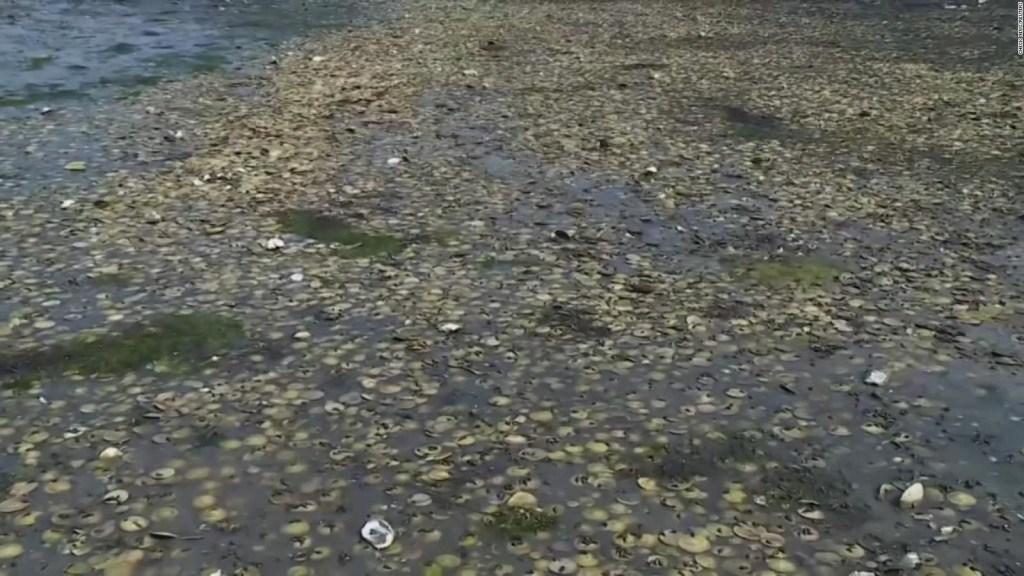 Muerte masiva de mejillones en la playa por ola de calor