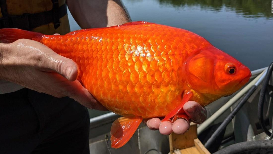 Enormes peces de acuario causan preocupación en EE.UU.