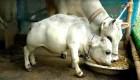 Esta vaca compite por ser la más pequeña del mundo