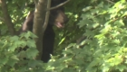 Se atora oso en lo alto de un árbol afuera de hospital