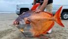 Encuentran masivo pez en la costa occidental de EE.UU.