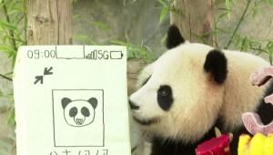 Panda gigante celebra su cumpleaños en Shanghái