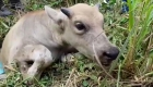 Así rescataron a una cría de búfalo de una tubería