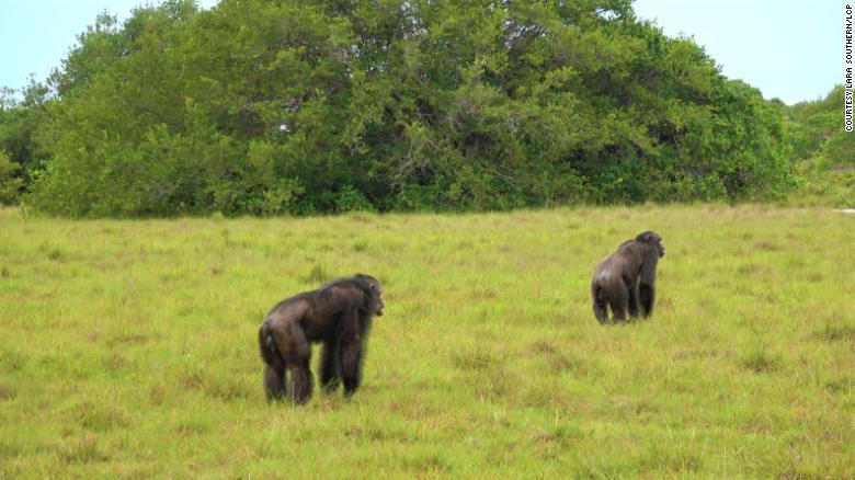 chimpancés gorilas