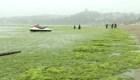 """Marea verde"" invade la costa de China"