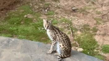 felino salvaje serval