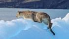 Así se ve un puma patagónico caminando sobre un iceberg