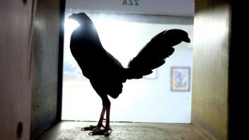 peleas-gallos-puerto-rico.jpg