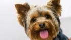 Esta pequeña perra yorkie salva a su dueña de un coyote