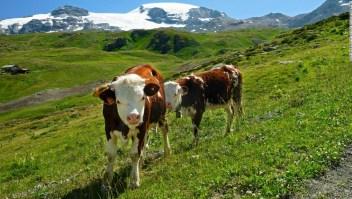 vacas-plástico.jpeg