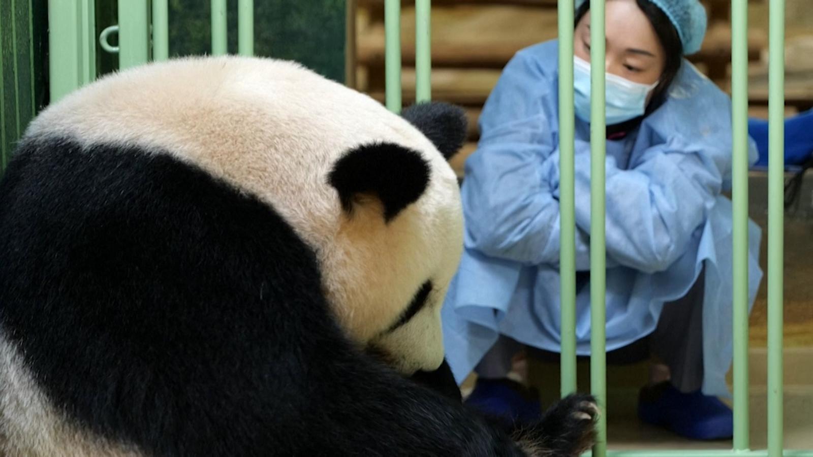 Estos dos pandas bebés acaban de nacer en un zoológico en Francia