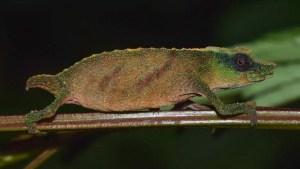 Camaleón que se creía extinto lucha por sobrevivir