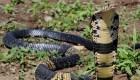 Buscan a una peligrosa cobra en Texas